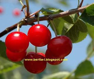 gambar tanaman buah talok atau kersen khasiat talok