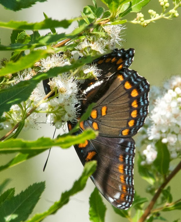 Red-spotted Admiral (Limenitis arthemis)