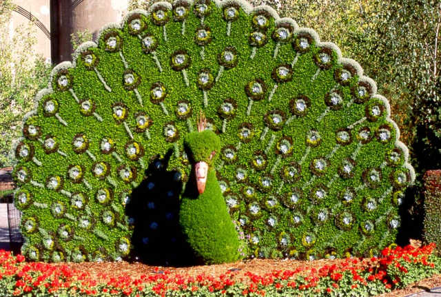 Arte y jardiner a arte topiario jardiner a ornamental for Tipos de arbustos ornamentales
