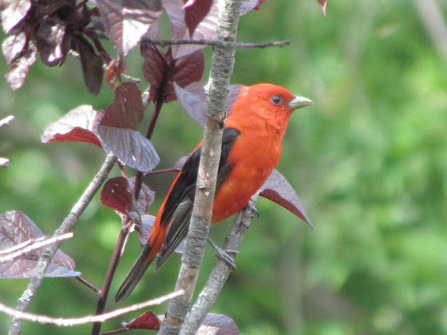 scarlet tanager in tree looking good