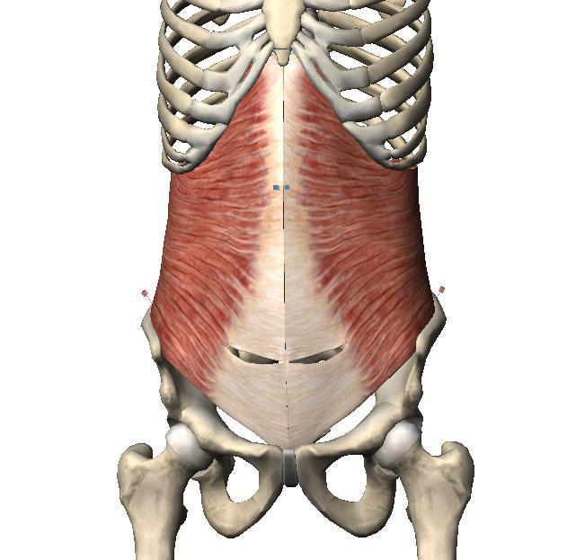 Pilates Marisa Rodriguez: Trivial Pilatero: Anatomía: Músculo más ...