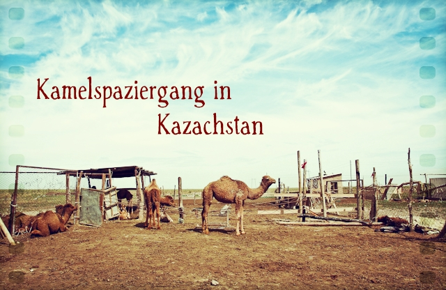 Spaziergang mit Kamelen in Kazachstan