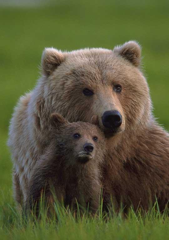 Encyclopaedia of Babies of Beautiful Wild Animals: The Brown Bear ...