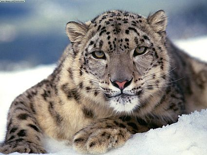 Most Amazing Almost Extinct Animals Snow Leopard