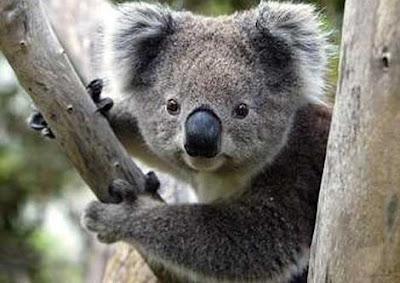El Koala Australia