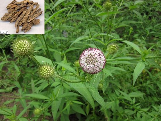 Dipsacus asperoides C. Y. Cheng at T. M. Ai (Fam. Dipsacaceae)
