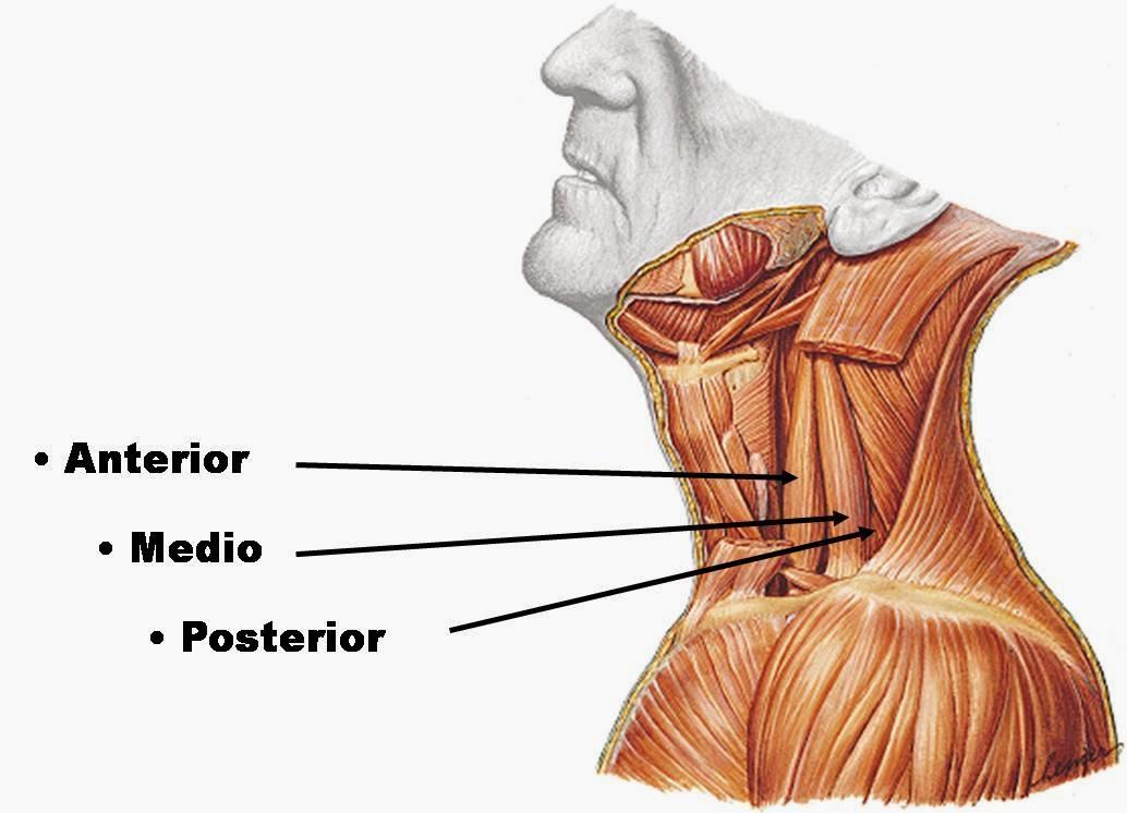 Anatomía y Fisiología: Cabeza y Raquis: Músculos del Cuello