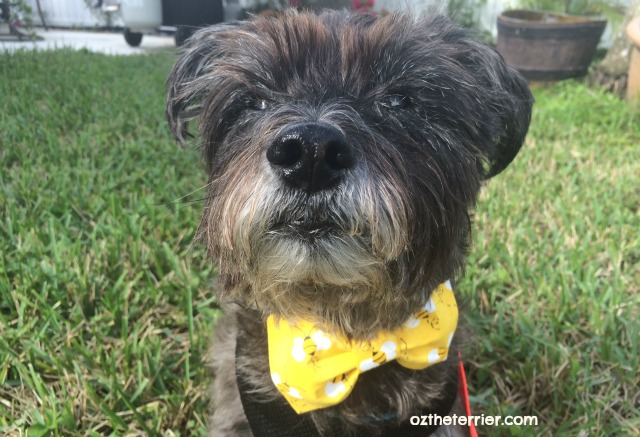 Oz the Terrier in bow tie from Golden Woofs for National Dress Up Your Pet Day