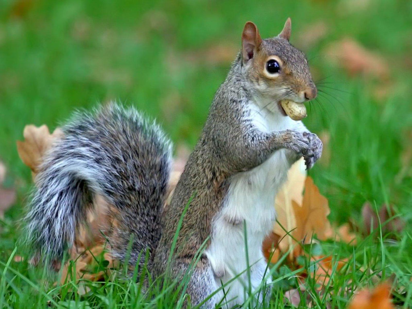 gray squirrel wallpaper - photo #6