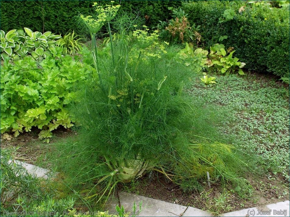 Foeniculum vulgare - Fenkuł włoski, koper włoski pokrój