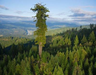 Γνωρίστε το hyperion, το ψηλότερο δέντρο στον κόσμο