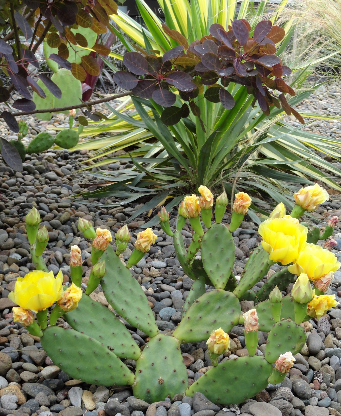 To Help Support This Notion Of Successfully Growing Cactus (for Anyone  Still Hesitating) I Set Out On A Little Opuntia Recording Expedition.