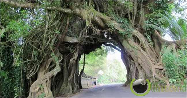 Pohon berlubang