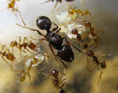 Queen and minor workers of Pheidole sp
