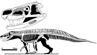 Batrachotomus skull