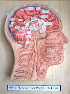 Anatomia humana e fisiologia