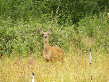 Doe and Fawn by the Apple Tree