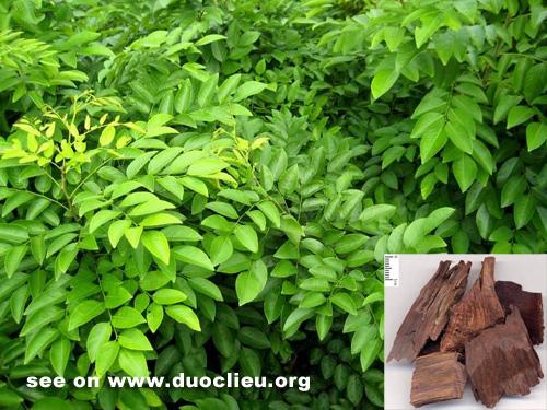 Dalbergia odorifera T. Chen