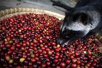 el cafe mas caro del mundo es cafe kopi luwak