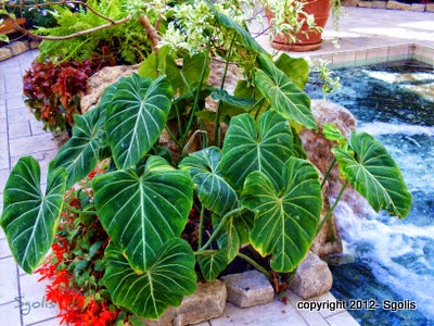 how to grow elephant ears australia