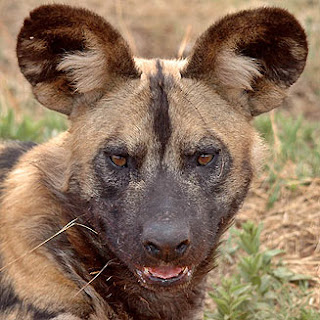 dangerous face of african painted dog