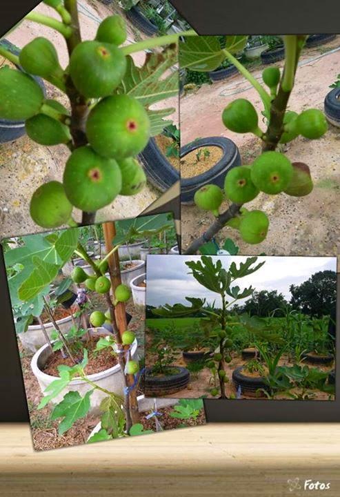 figs 4 fun