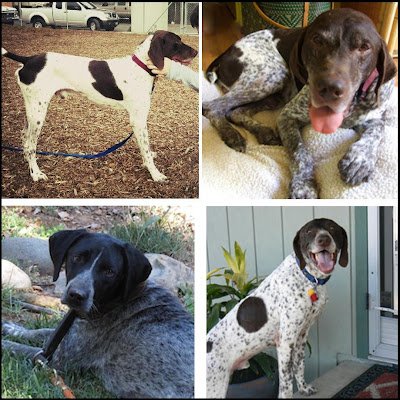 Freckles the Dog GSP Rescue