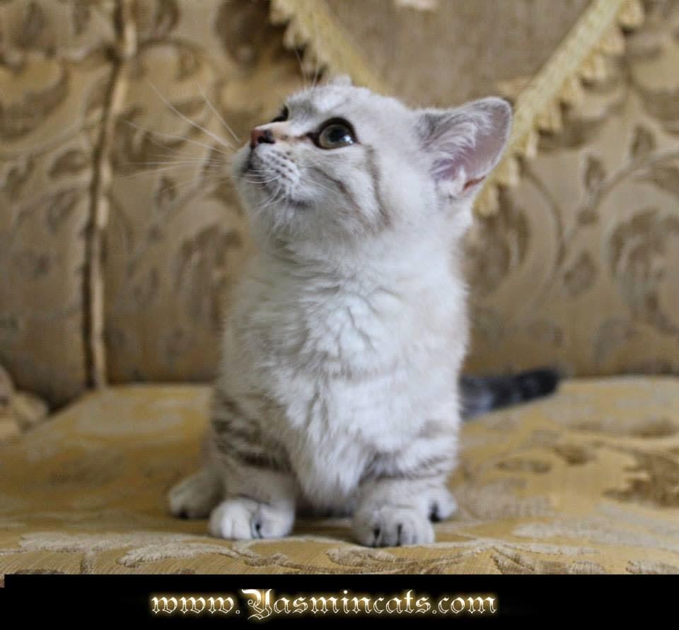 chocolate ragdoll cat