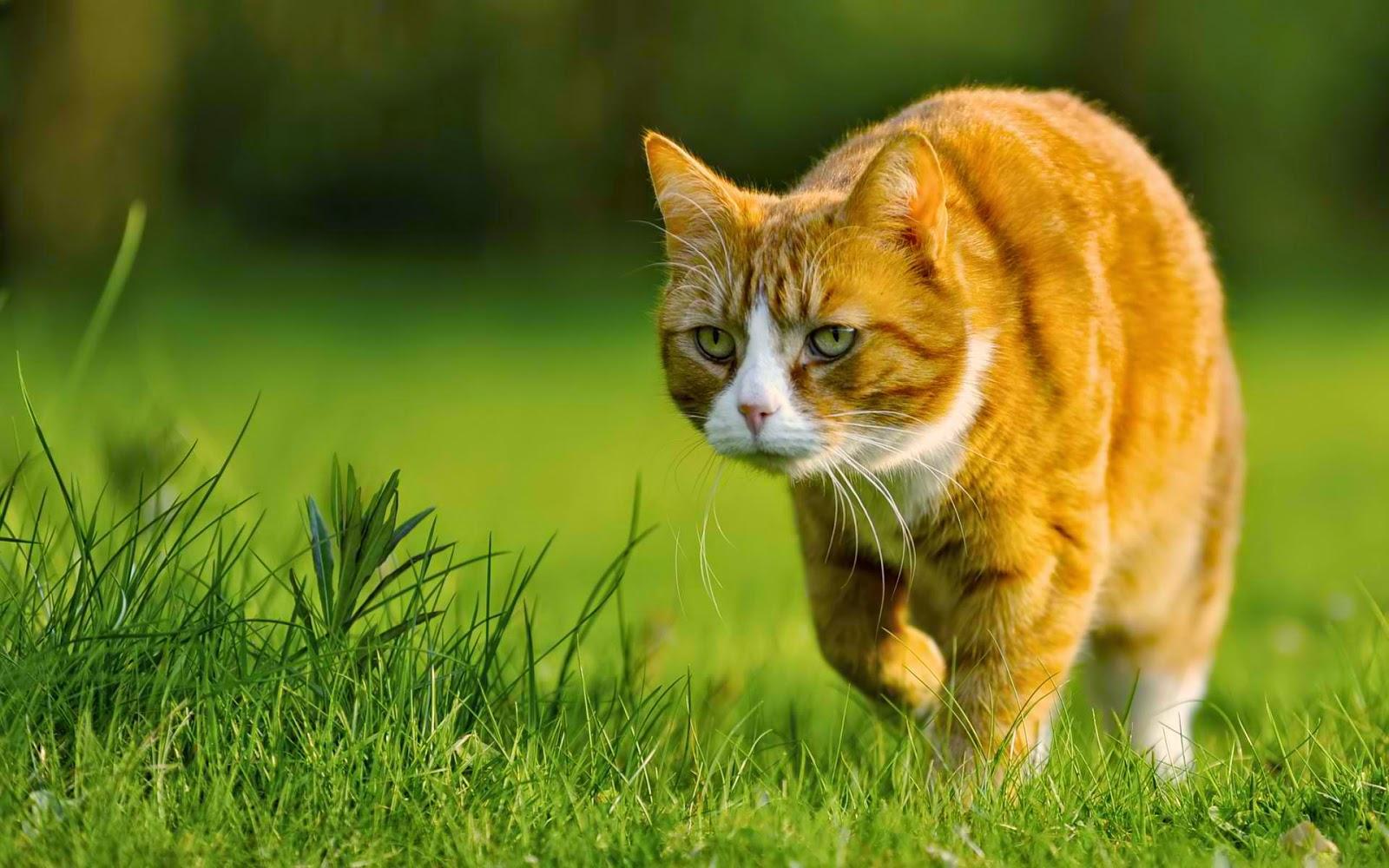 A cat preparing to hunt