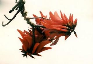 הפרח והפרי של האלמוגן. בשלב זה לעץ אין עלים כלל