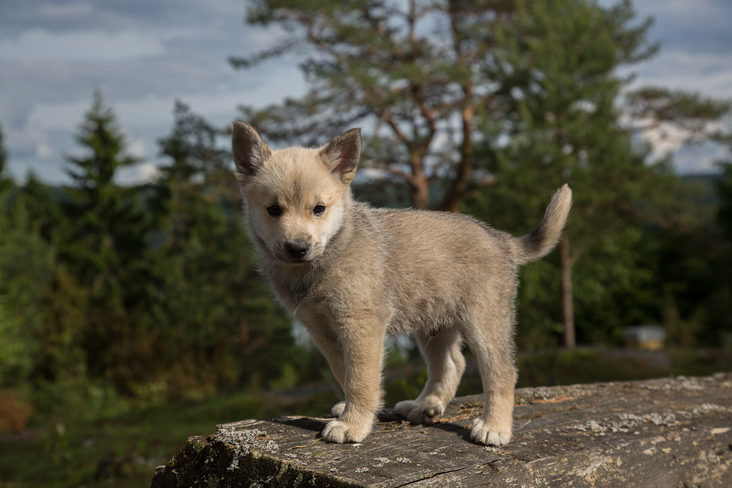 Buhund Puppies The Shepherds Realm