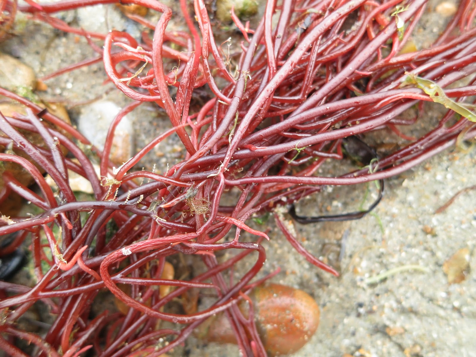 A red seaweed with long fleshy strings for leaves (well, I know they're not actually leaves but . . . )
