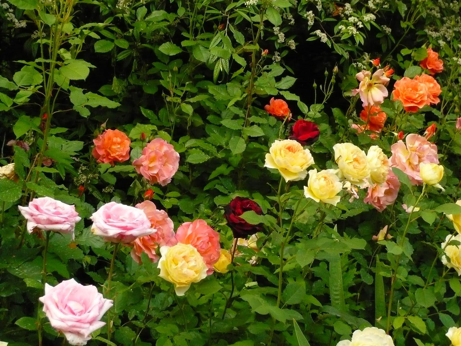 Arte y jardiner a el jard n de rosas for Arbustos con flores para jardin