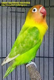 Foto Burung Lovebird Pastel Jantan