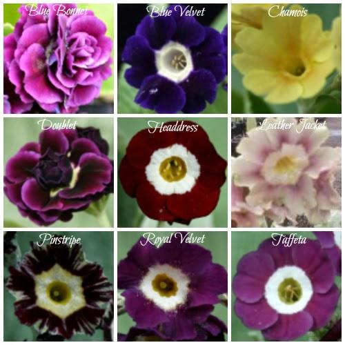 Abriachan Nurseries Primula Auricula