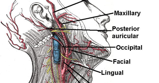 Rishabh Tiwari\'s Blog: External Carotid Artery Mnemonics