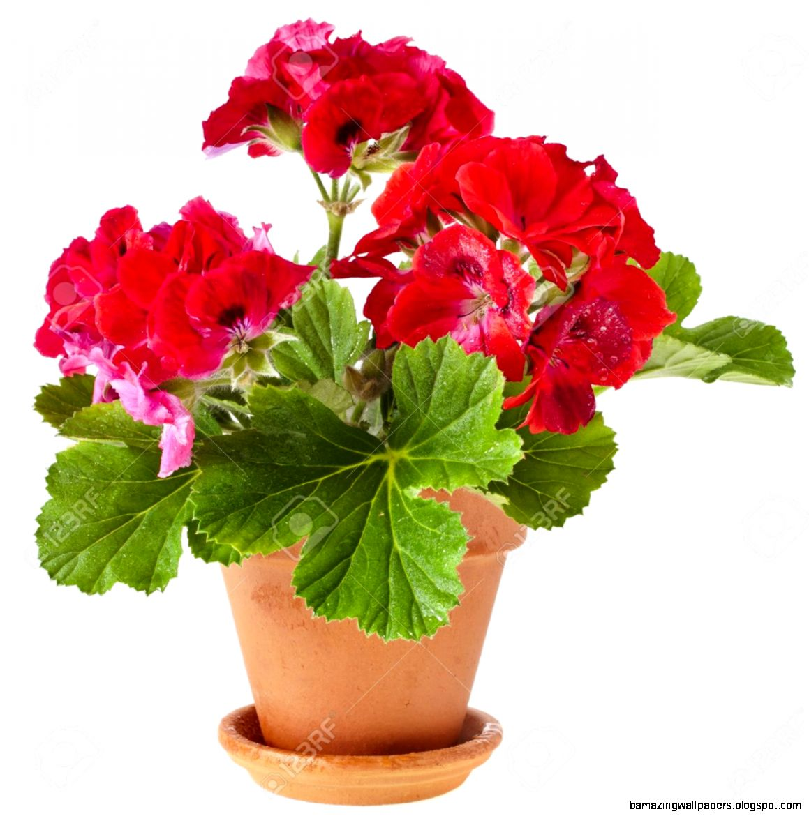 Red Geranium Flower Potted Plant Isolated On White Background