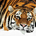 Amazing Wallpapers Of Tigers