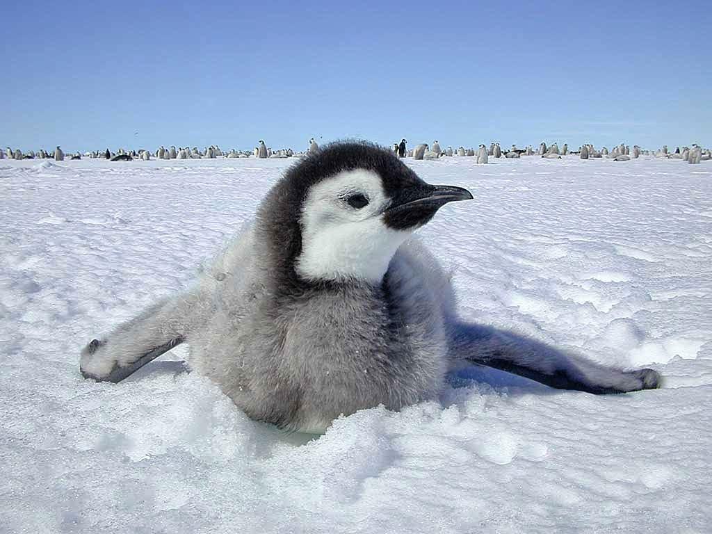 Geracao Polar Portugal Feliz Dia Do Pinguim Baby Emperor Penguin Happy Feet