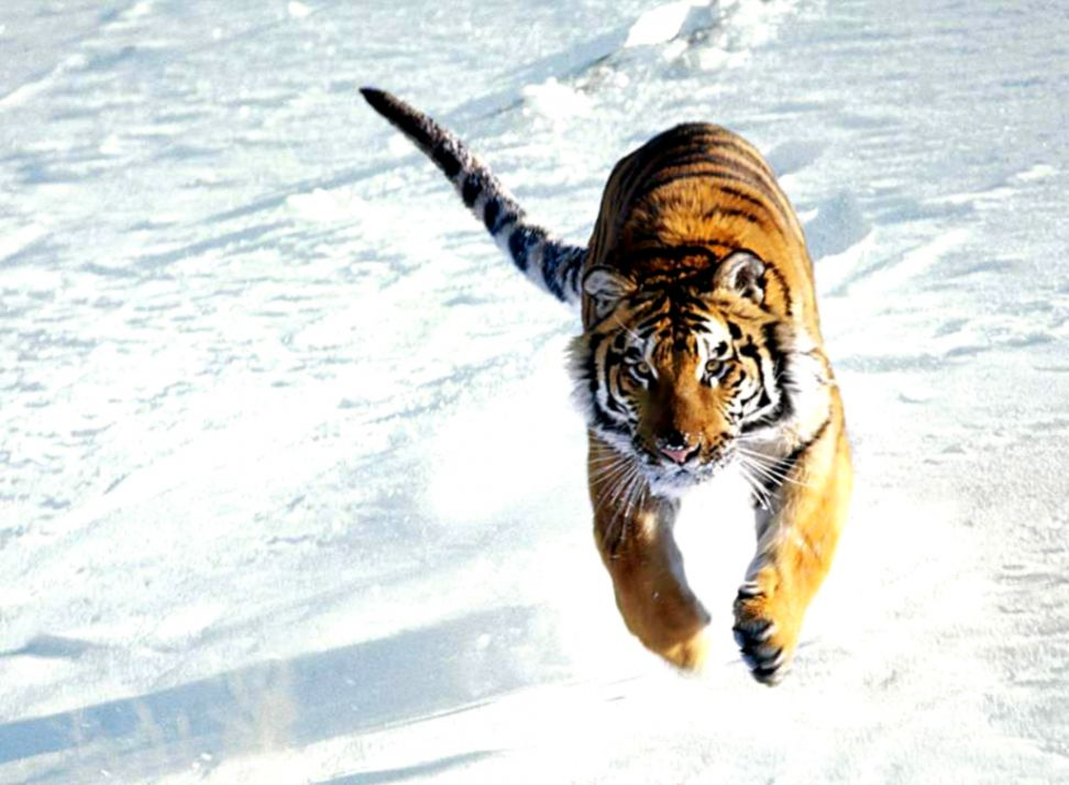 Download Tiger Wallpaper Best Wallpapers Hd Collection