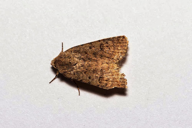 Pale Mottled-Willow - Photographed in Milton Keynes