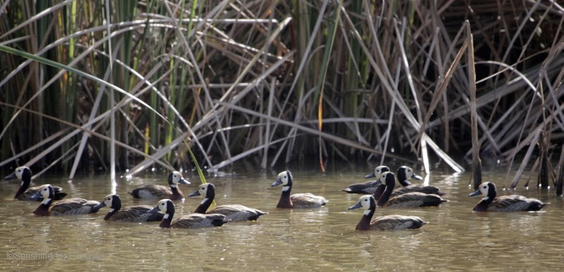 Flock of White-faced whistling ducks