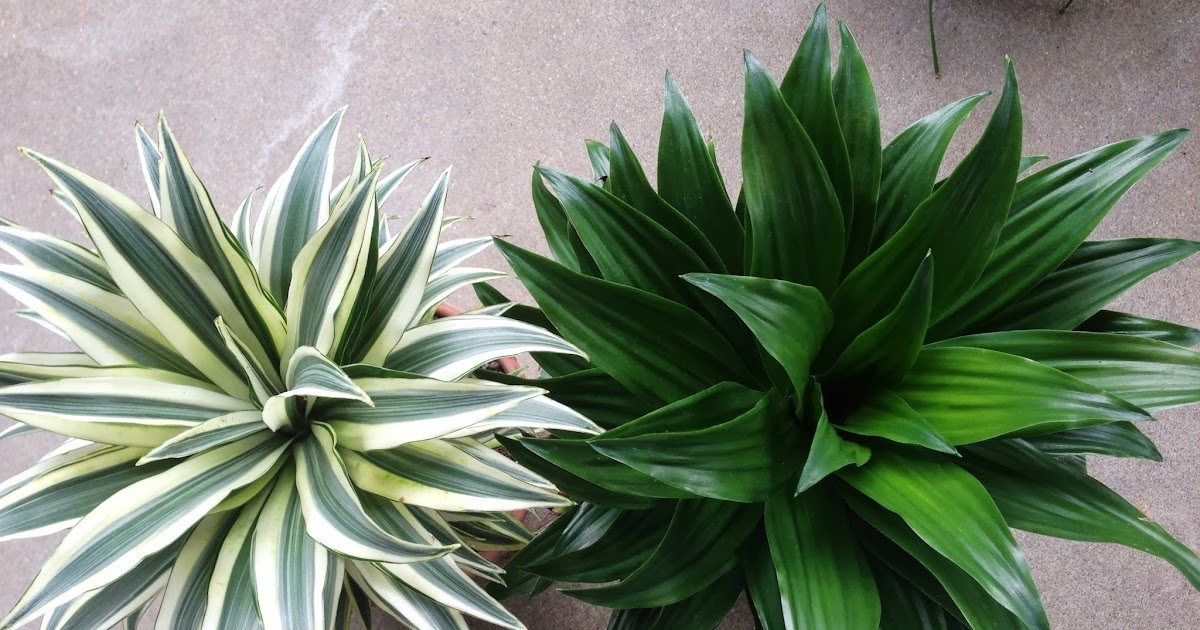 my life of plants dracaena janet craig compacta and variegated compacta. Black Bedroom Furniture Sets. Home Design Ideas
