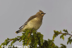Cedar waxwing, October 2010