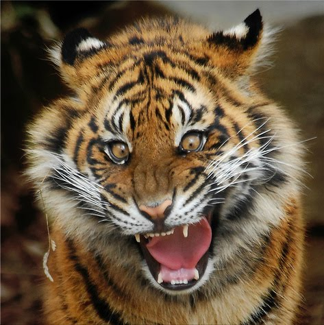 Baby tigers face - photo#8