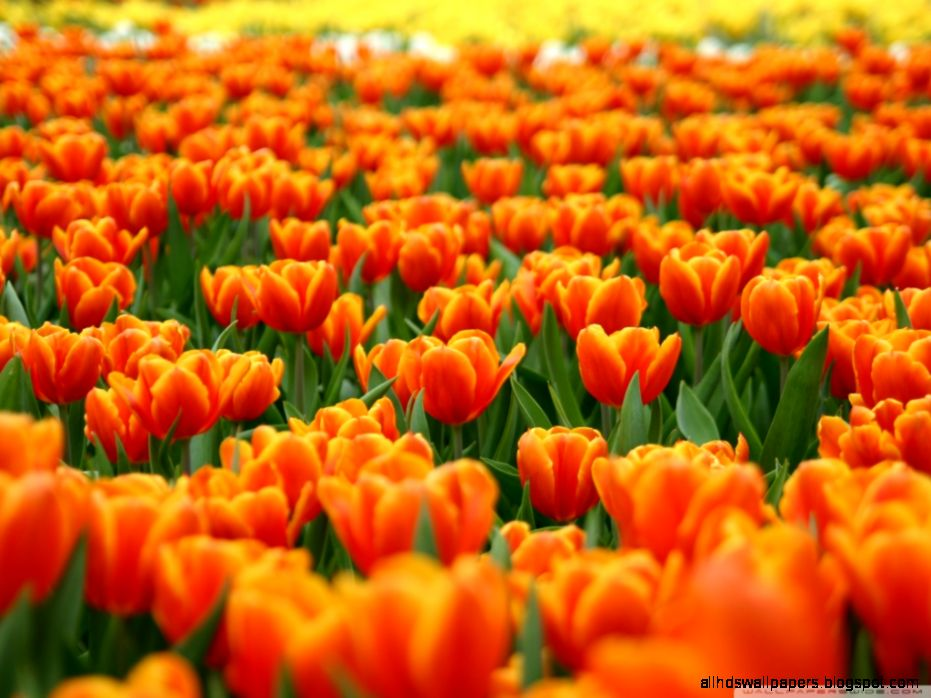 Spring Flowers Widescreen Desktop Wallpapers 7533   HD Wallpapers Site
