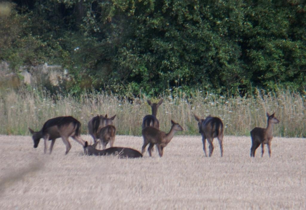 Marilyn\'s Wildlife Diary: Waders and Deer at Levington Creek