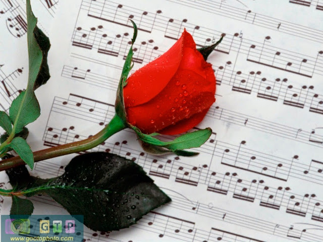 صور ورد احمر وردة جوري حمراء للعشاق
