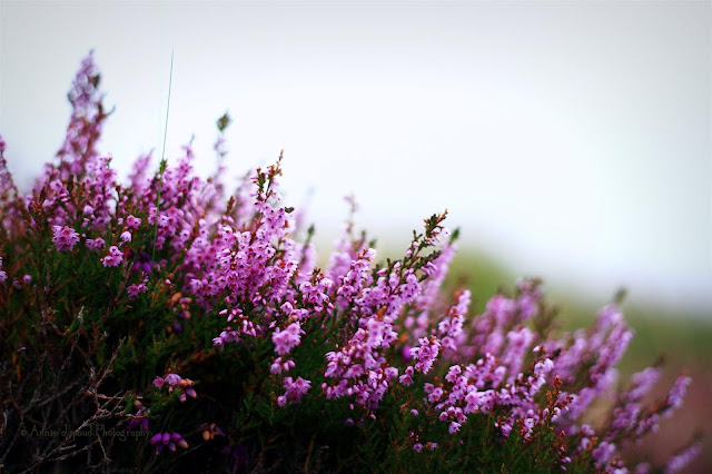 heather flowers in the grasses
