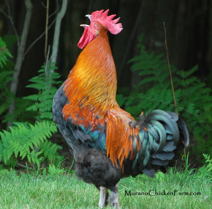 Http Www Muranochickenfarm Com 2013 07 The Crowing Contest And Other Facts Html